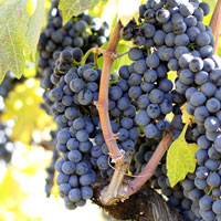 Zin Grapes